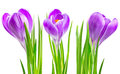 Blooming spring crocus flower Royalty Free Stock Images