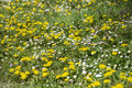 Blooming spring garden with yellow dandelions and white daisies Royalty Free Stock Photo