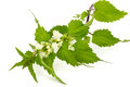 Blooming stinging nettle closeup of on white background Royalty Free Stock Image