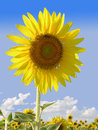 A Blooming Sunflower against the Blue Sky Royalty Free Stock Photo