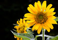 Blooming sunflower on black background Royalty Free Stock Photo
