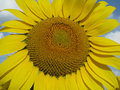 Blooming sunflower on blue sky Royalty Free Stock Photography