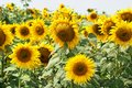Blooming sunflower field shallow depth of Stock Photo