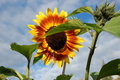 Blooming sunflower. Royalty Free Stock Photo