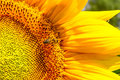 Blooming Sunflower And Pollina...