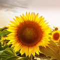 Blooming sunflowers in the field, organic landscape background Royalty Free Stock Photo