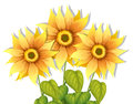 Blooming sunflowers illustration of the on a white background Stock Images