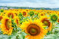 Blooming Sunflowers And Pollin...