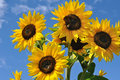 Blooming sunflowers on sky background in sunny day Royalty Free Stock Photos