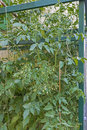Blooming tomato plants on a house wall Stock Photos