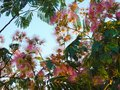 Blooming tree with amazing pinkish colors Royalty Free Stock Photo