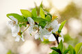 Blooming tree branch on the defocused background Stock Photos