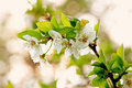 Blooming tree branch on the defocused background Stock Photography