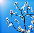 Blooming tree branch over blue sky Stock Photo