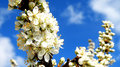 Blooming tree closeup detail of and blue sky in spring time Royalty Free Stock Photos