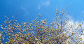 Blooming tree closeup detail of and blue sky in spring time Stock Photography