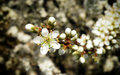 Blooming tree closeup detail of in spring time Royalty Free Stock Photography