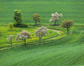 Blooming tree in the field green Stock Image
