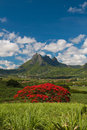 Blooming tree flamboyant with pieter both mountain as background in mauritius Stock Image