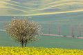 Blooming Tree over yellow and green fields - spring landscape Royalty Free Stock Photo