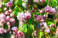 Blooming tree with pink flowers in spring garden. Royalty Free Stock Photo