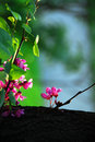 Blooming tree at spring pink flowers on a branch springtime outdoor Royalty Free Stock Photography