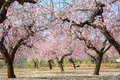 Blooming trees on field Royalty Free Stock Photo