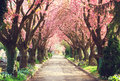 Blooming trees in spring Royalty Free Stock Photo
