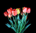 Blooming tulips Royalty Free Stock Image