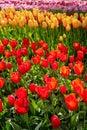 Blooming tulips flowerbed in Keukenhof flower garden, Netherland Royalty Free Stock Photo