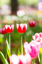 Blooming tulips flowers Royalty Free Stock Photo