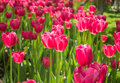 Blooming tulips the meaning of is a kind of flowers in plant taxonomy is a kind of belong to the lily family tulip bulb with Royalty Free Stock Image