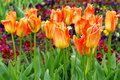 Spring background with colored flowers. Blooming tulips Royalty Free Stock Photo