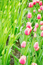 Blooming tulips and saplings on a field of pink white next to green Royalty Free Stock Image