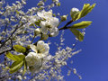 Blooming twig of cherry-tree Royalty Free Stock Photo