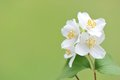 Blooming twig of jasmine on a sunny day white flowers green background Stock Image