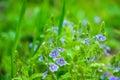 Blooming Veronica Officinalis ...