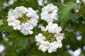 Blooming viburnum viburnum opulus in the garden Stock Photos