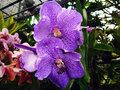 Blooming violet orchid flowers in garden Stock Image