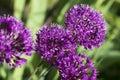 Allium - blooming violet ball Royalty Free Stock Photo