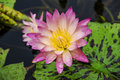 Blooming waterlily under the rain Stock Photos