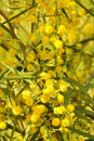 Blooming Wattle Stock Photo
