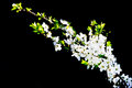 Blooming white cherry tree in springtime Royalty Free Stock Photo