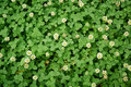 Blooming white clover. Texture.Replacement lawn