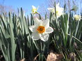 Blooming White Daffodil Flower