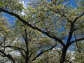 Blooming White Dogwood Against a Deep Blue Sky Royalty Free Stock Photo