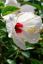 Blooming white hibiscus flower with bright red center and yellow pollen Royalty Free Stock Images