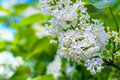 Blooming white lilac flowers - floral background with free space for text Royalty Free Stock Photo