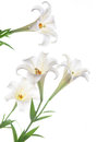 Blooming white lily on the white backgroup after rain Royalty Free Stock Photography