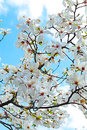 Blooming White Magnolia across the blue sky. Spring. Garden Royalty Free Stock Photo